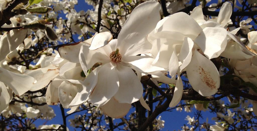 Magnolian i Göteborg